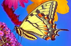A side o ortrait of a Swallowtail butterfly, wings closed. A beautiful Swallowtail butterfly, wings closed stock photos