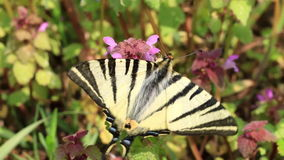 Beautiful swallowtail (Papilio machaon ) butterfly stock footage