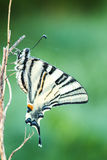 Beautiful swallowtail (Papilio machaon ) Stock Image