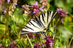 Beautiful swallowtail (Papilio machaon ) Stock Images