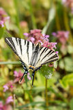 Beautiful swallowtail (Papilio machaon ) Stock Photography