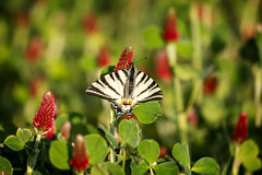 Beautiful swallowtail (Papilio machaon ) Royalty Free Stock Image