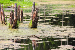 Beautiful swamp in forest Royalty Free Stock Photography