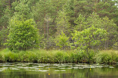 A beautiful swamp landscape near the lake in morning light. Marsh scenery in Northern europe. Stock Images