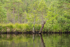 A beautiful swamp landscape near the lake in morning light. Marsh scenery in Northern europe. Royalty Free Stock Photography