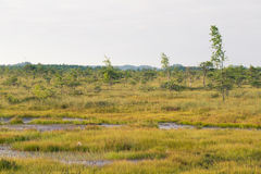A beautiful swamp landscape near the lake in morning light. Marsh scenery in Northern europe. Royalty Free Stock Image