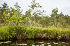 A beautiful swamp landscape near the lake in morning light. Marsh scenery in Northern europe. Stock Photography