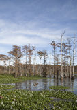 Beautiful Swamp Royalty Free Stock Photo