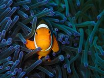The beauty of underwater world in Sabah, Borneo. Closeup with clownfish or the anemone fish in underwater world diving in Sabah, Borneo stock photography
