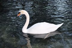 Beautiful swan Stock Photography