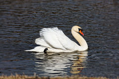 Beautiful swan Royalty Free Stock Images