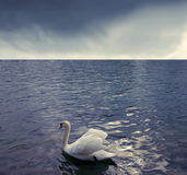 Beautiful swan Stock Image