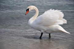 Beautiful swan Royalty Free Stock Photo