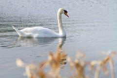 Beautiful swan Stock Photos