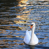 The beautiful swan. A lovely swan on a lake Stock Photo