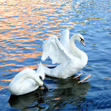 The beautiful swan. The  lovely swan look at me Royalty Free Stock Images