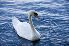 Beautiful Swan. A white swan swims in a lake stock photos