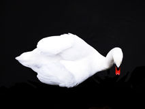 Beautiful Swan From Above royalty free stock photos