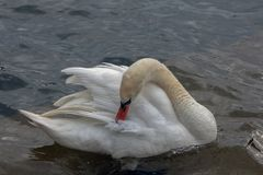A beautiful swan arranges his feathers with his beak. The lake is part of the Aegean Lakes group and is located at 703 meters above sea level. There are over stock photography