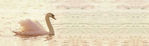 Beautiful swan banner Stock Photo