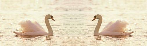 Beautiful swan banner Stock Photos