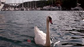 Swam swimming in beautiful blue water. Beautiful swan bird looking at camera waiting to be feed stock video footage