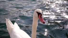 Swam swimming in beautiful blue water. Beautiful swan bird looking at camera waiting to be feed stock footage