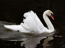 Beautiful swan on black background Royalty Free Stock Photo