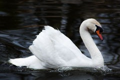 Beautiful swan on black background Royalty Free Stock Photos
