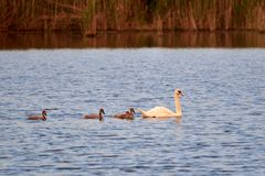 Swan and chicks on the lake in the rays of sunset royalty free stock photography