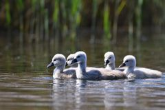 Beautiful swan cubs at the pond. Beautiful natural colored background with wild animals Royalty Free Stock Images