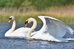 Beautiful swan cubs at the pond. Beautiful natural colored background with wild animals Royalty Free Stock Photography