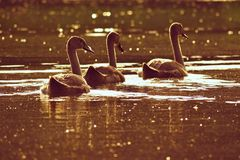 Beautiful swan cubs at the pond. Beautiful natural colored background with wild animals. Springtime. Beautiful swan cubs at the pond. Beautiful natural colored Stock Photo
