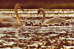 Beautiful swan cubs at the pond. Beautiful natural colored background with wild animals. Feeding chicks at sunset. Beautiful swan cubs at the pond. Beautiful Stock Photo