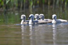 Beautiful swan cubs at the pond. Beautiful natural colored background with wild animals Stock Images