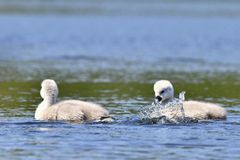Beautiful swan cubs at the pond. Beautiful natural colored background with wild animals Royalty Free Stock Photos