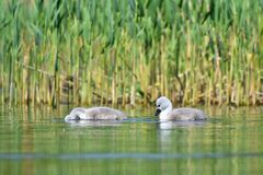 Beautiful swan cubs at the pond. Beautiful natural colored background with wild animals.  Stock Photography