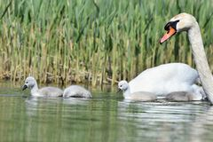 Beautiful swan cubs at the pond. Beautiful natural colored background with wild animals.  Stock Images