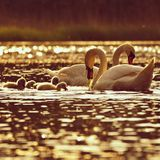 Beautiful swan cubs at the pond. Beautiful natural colored background with wild animals. Springtime. Beautiful swan cubs at the pond. Beautiful natural colored Royalty Free Stock Image
