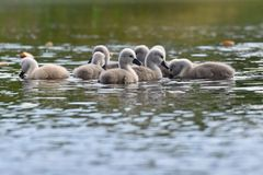 Beautiful swan cubs at the pond. Beautiful natural colored background with wild animals. Springtime. Beautiful swan cubs at the pond. Beautiful natural colored Stock Image