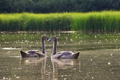 Beautiful swan cubs at the pond. Beautiful natural colored background with wild animals. Springtime. Beautiful swan cubs at the pond. Beautiful natural colored Stock Photography