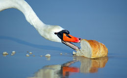 Beautiful swan eating bread Royalty Free Stock Image