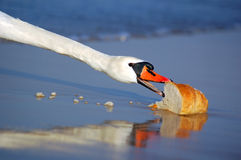 Beautiful swan eating bread Royalty Free Stock Photos
