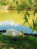Beautiful swan enjoying near lake. Hungry swan eating under small tree. royalty free stock image