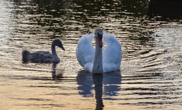 Beautiful swan family glide in sunset Royalty Free Stock Photo