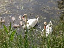 Beautiful Swan family. On the lake. Sunny day. Swan loyalty. Beautiful Swan family.   Summer on the lake. On the water duckweed. Reeds.Sunny day. Swan loyalty Stock Images