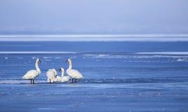 Beautiful swan family Stock Photography
