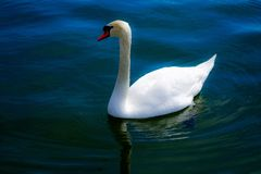 Beautiful swan floating on the blue river stock photos