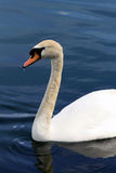 A beautiful swan in Florida Stock Image