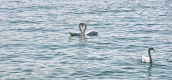 Beautiful swan heart. Beautiful white swans heart background Royalty Free Stock Photos
